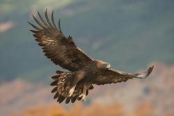 GOLDEN EAGLE ON MOUNTAIN