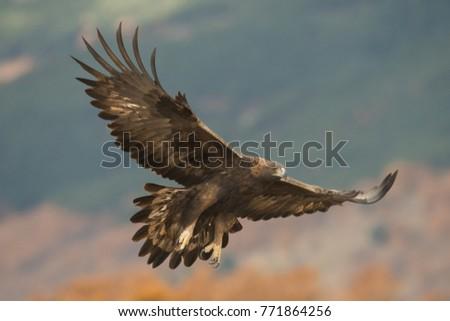 GOLDEN EAGLE ON MOUNTAIN Stock photo ©