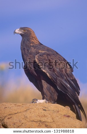 Golden eagle on rock roost in Montana