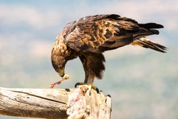 Golden Eagle perched on a tree trunk