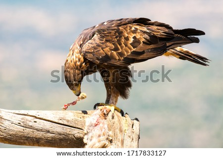 Golden Eagle perched on a tree trunk Stock photo ©