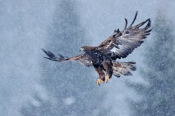 Golden eagle, snow flake fly. Snowy winter with eagle. Bird of prey Golden Eagle starts from the snowy meadow. Wildlife scene from Norwegian nature. Big bird with open wings.