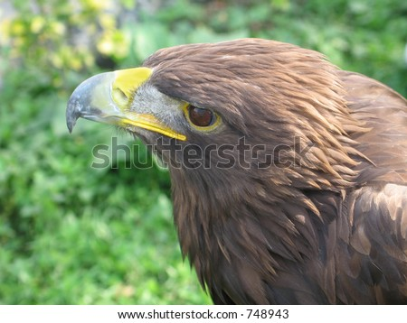 Golden Eagle viewed closeup from the side.  What a proud animal.