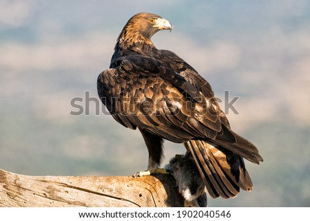 Golden Eagle with a hunted rabbit Stock photo ©