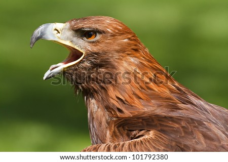golden eagle with an open beak
