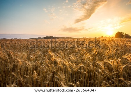 Golden ears and field of wheat ready to be harvested. This photo made in Hungary #263664347