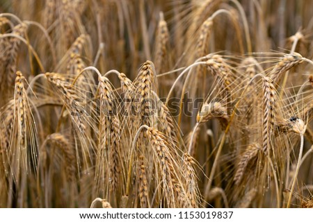 Golden ears of rye growing in the field. #1153019837