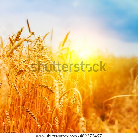 Golden ears of wheat in summer on the field. #482373457
