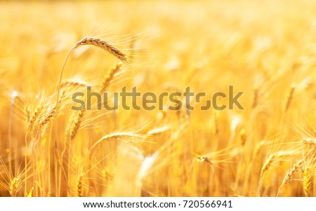Golden ears of wheat in summer on the field. #720566941