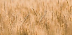 Golden ears of wheat on the background of a ripening field. Agricultural plant close-up. The concept of planting and harvesting a rich harvest. Rural landscape at sunset.