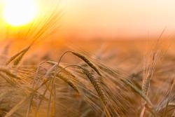 Golden ears of wheat on the  farm field