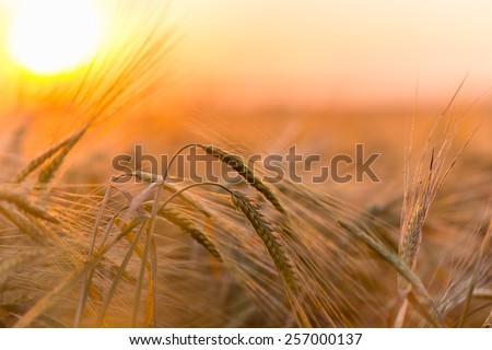 Golden ears of wheat on the  farm field - Shutterstock ID 257000137