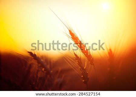 Golden ears of wheat on the field. Sunset light. #284527154