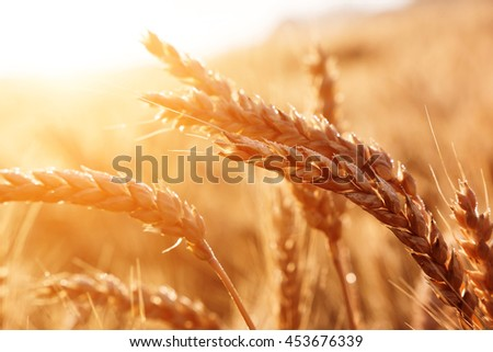 golden ears of wheat or rye, close up with drops of dew. majestic rural landscape under shining sunlight. Rich harvest Concept. small depth of field. Soft lighting effects. #453676339