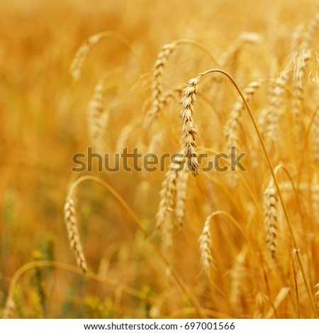 golden ears of wheat or rye, close up with drops of dew. majestic rural landscape under shining sunlight. Rich harvest Concept. small depth of field. Soft lighting effects. instagram filter #697001566