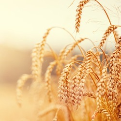 golden ears of wheat or rye on the field, close up. majestic rural landscape under shining sunlight. Rich harvest Concept. small depth of field. Soft lighting effects. vintage filter.