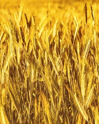 Golden ears of young rye lit by the evening rays of the sun. The concept of agriculture and cultivation of cereals. Close-up.