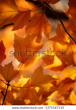 Golden Fall leaves form a vibrant yellow and orange organic pattern that represents Fall. The autumn colors were captured during peak season and beautifully soft lighting and weather.