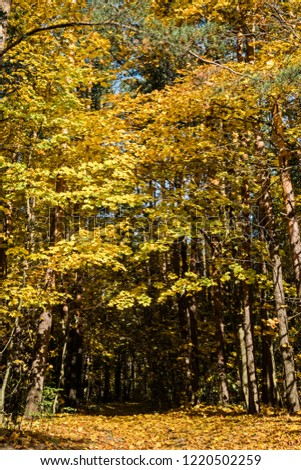 Golden fall. Norway Maple (Acer platanoides) in deciduous forest, Central Russia