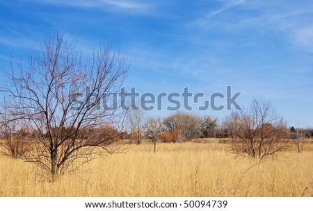 Golden field dotted with bushy bare trees in bright sunlight under a rich blue sky with breezy clouds