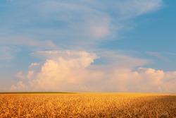 Golden field of ripe rye under beautiful blue sunset summer sky. Wheat field cloudscape.