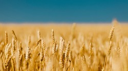 Golden field of ripened cereal, yellow wheat and rye against the blue sky.
