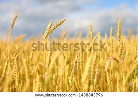 golden field of wheat and sunny day. Spikes ready for harvest wheat or rye closeup lit by sunlight, against the sky. Copy space installation of sunlight on the horizon. Idea concept rich harves #1438843796