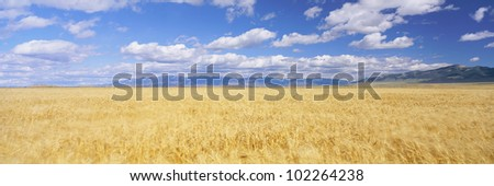 Golden field under sky with clouds