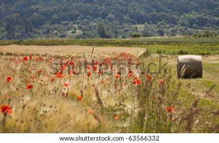 Golden field with poppies