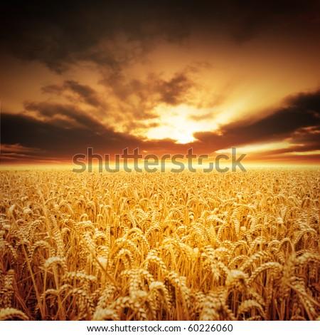 Golden fields of beautiful wheat.