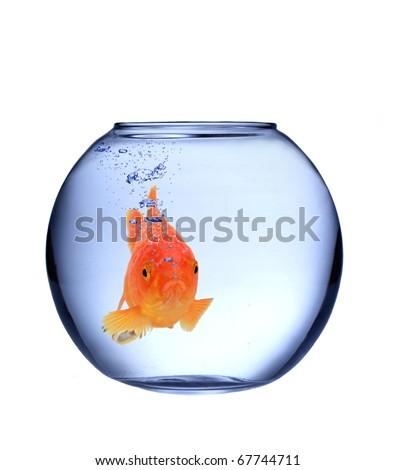 GOlden fish carassius auratus in bowl aquarium - stock photo