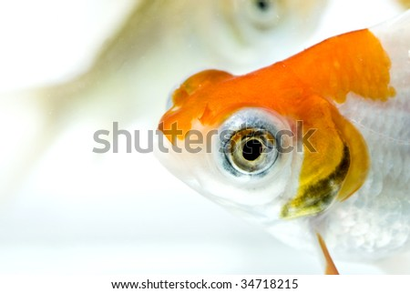 golden fish in clear water