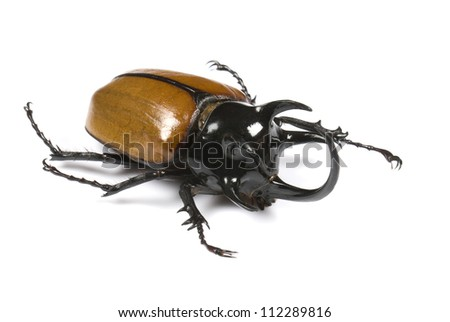 Golden five horned rhino beetle on a white background