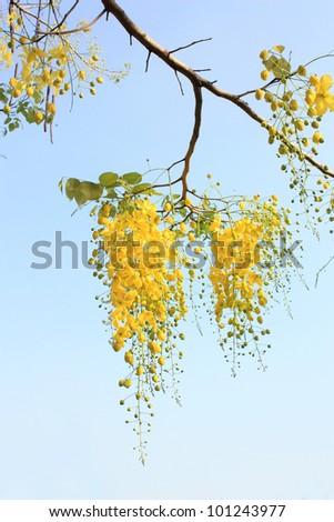 Golden Flower or Cassia Fistula, national flower of Thailand
