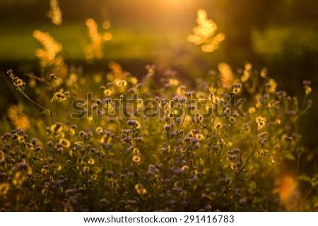 golden flowers of grass before sunset #291416783