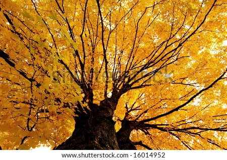 Golden Foliage Maple