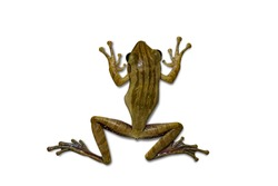 Golden Frog isolated white background with clipping path.