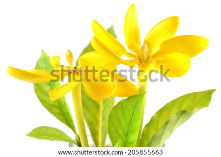 Golden gardenia flower, Gardenia carinata, Central of Thailand