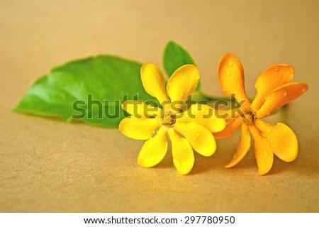 Golden gardenia flower, Gardenia carinata, Family Rubiaceae, Central of Thailand