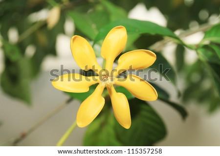 golden gardenia flower or Gardenia carinata Wallich.