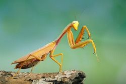 Golden giant mantis perched on a wooden branch.