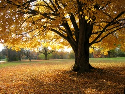 Golden Glowing Maple Tree in Autumn