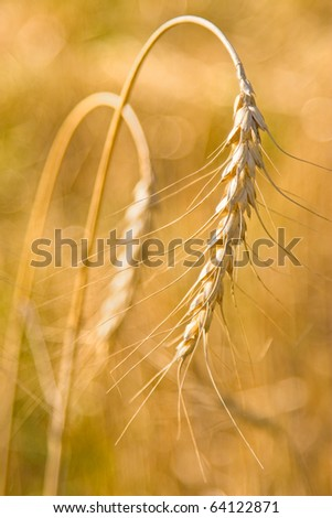 Golden grain ears
