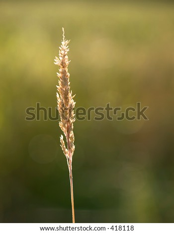 Golden grass blade with seed head with sun back lighting