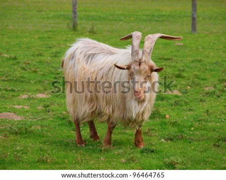 Golden Guernsey Goat with long hair and big long horns looking at the camera and smiling