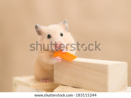 Golden Hamster eating carrot on building blocks