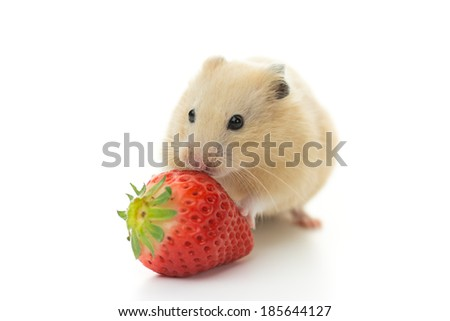 Golden Hamster eating strawberry, isolated on white background.