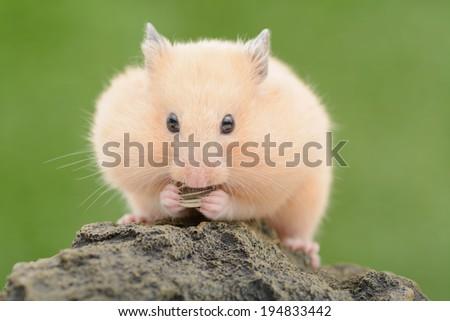 Golden Hamster eating sunflower seed