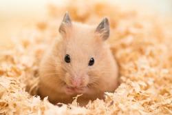 Golden Hamster on wooden chips