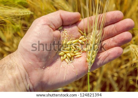 golden harvest in hand over field
